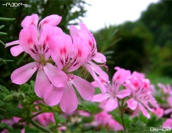 rosez01.jpg