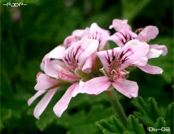 rosez02.jpg
