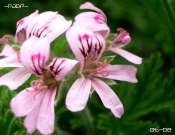 rosez03.jpg